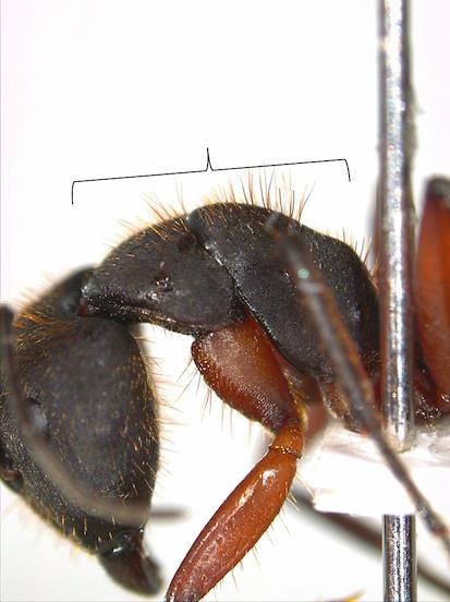 Camponotus (Myrmothrix) rufipes em Canela, RS
