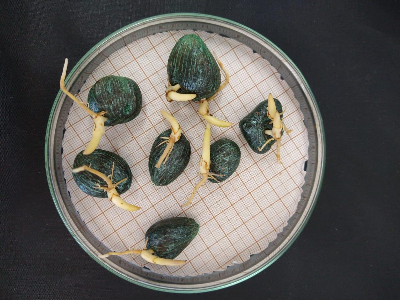 Sementes pré-germinadas de dendezeiro importadas da Costa Rica / African oil palm seeds