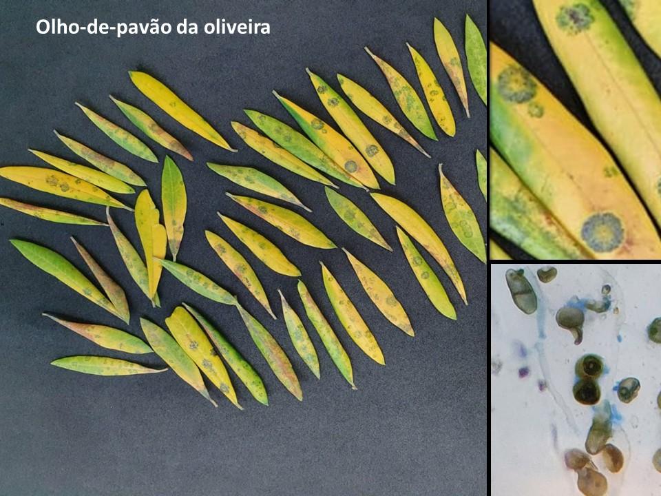 Olho-de-pavão em pomar de oliveiras de Santa Clara do Sul, RS / Peacock spot on olives