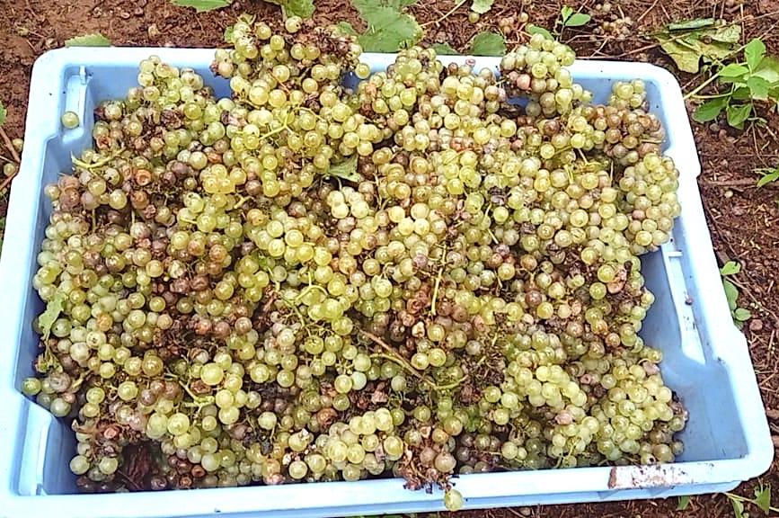 Podridão azeda da uva Chardonnay, Fagundes Varela, RS / Grape Sour Rot