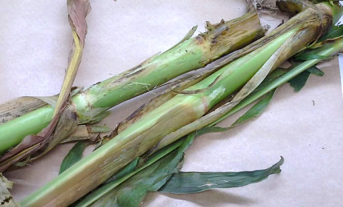 Corn stalk rot caused by Dickeya zeae in Água Doce, SC / Podridão-do-colmo do milho por Dickeya zeae