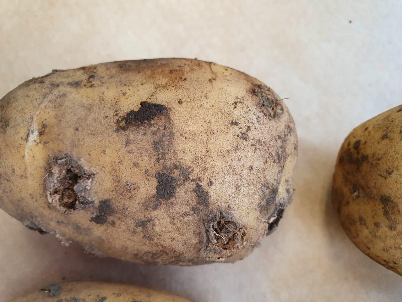 Sarna comum da batata em lavoura de São Francisco de Paula, RS / Potato Scab