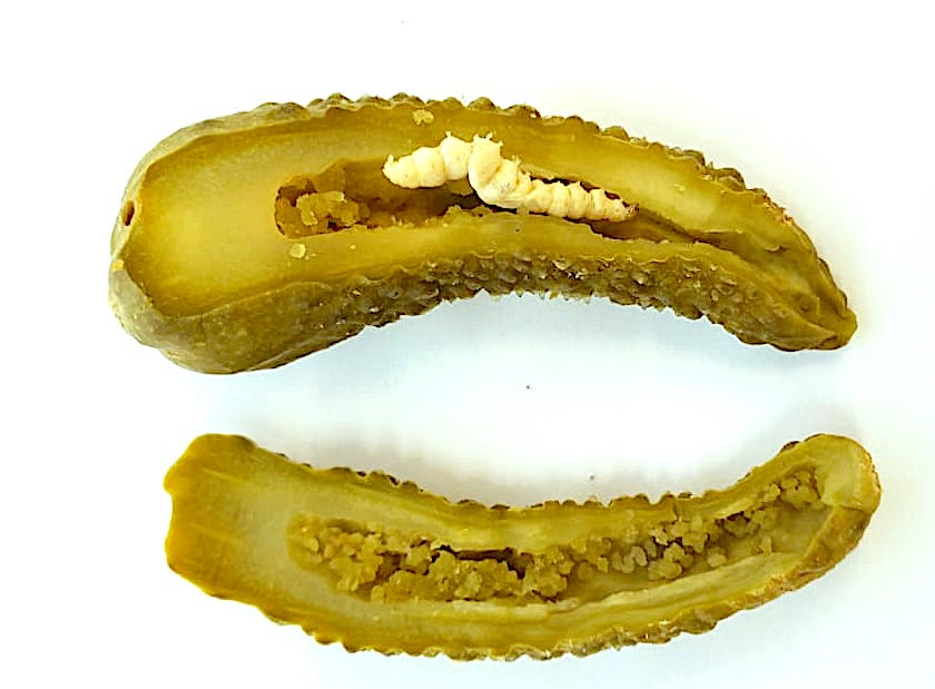 Pickleworm (Diaphania nitidalis) found in pickled cucumber