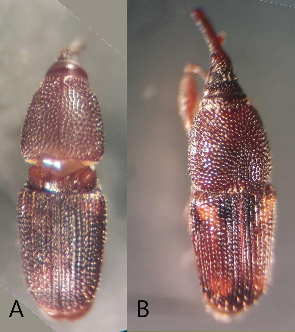 Como diferenciar Sitophilus oryzae de S. zeamais?