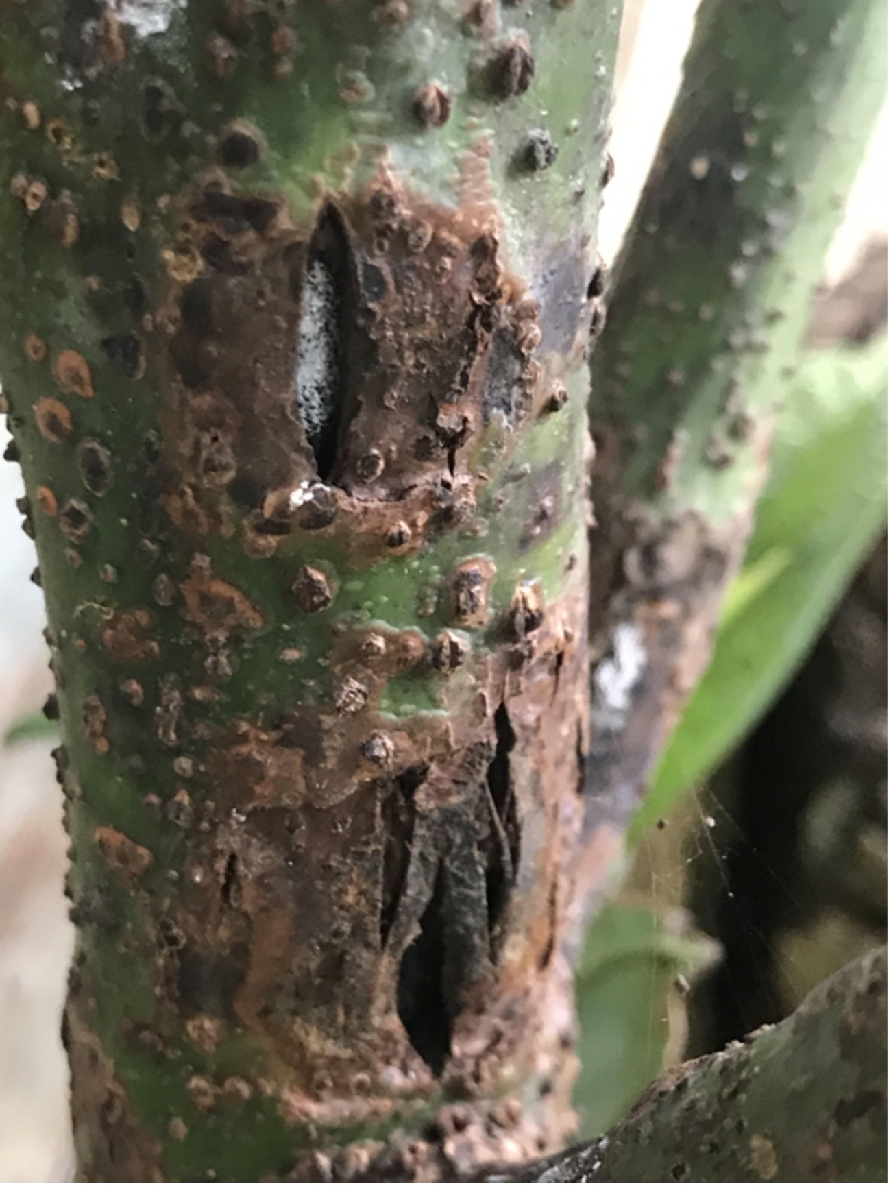 Avocado Branch Cankers Associated with Botryosphaeriaceae Species in Cáqueza, Colombia