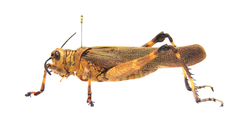 Gafanhoto-soldado (Chromacris speciosa), Teresópolis, Porto Alegre, RS