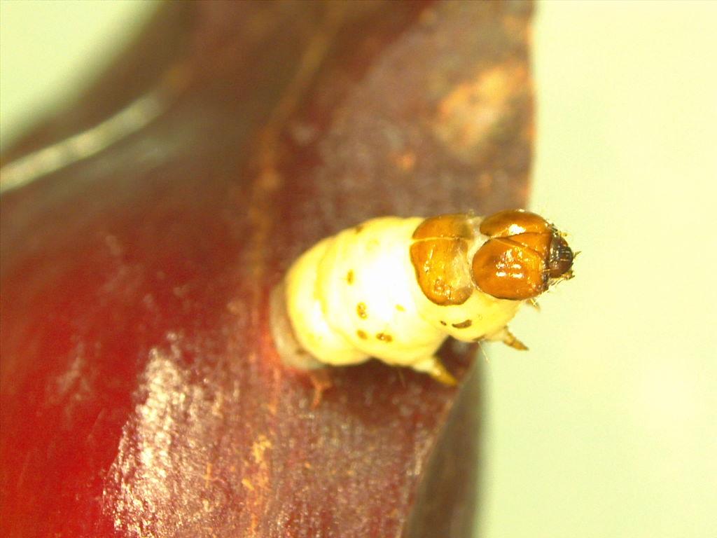 Broca-do-pinhão (Cydia araucariae), São Francisco de Paula, RS