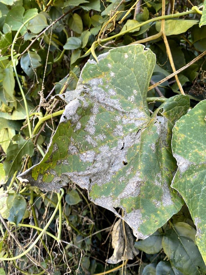 Mancha-de-leandria (Leandria momordicae) em chuchu, Canela, RS