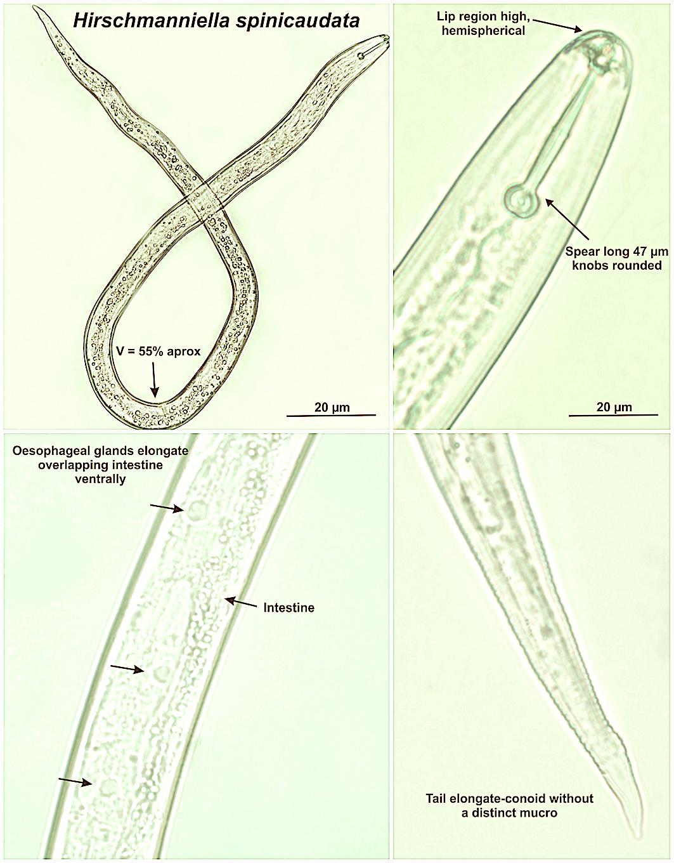 Hirschmanniella spinicaudata em raízes de arroz, Eldorado do Sul, RS