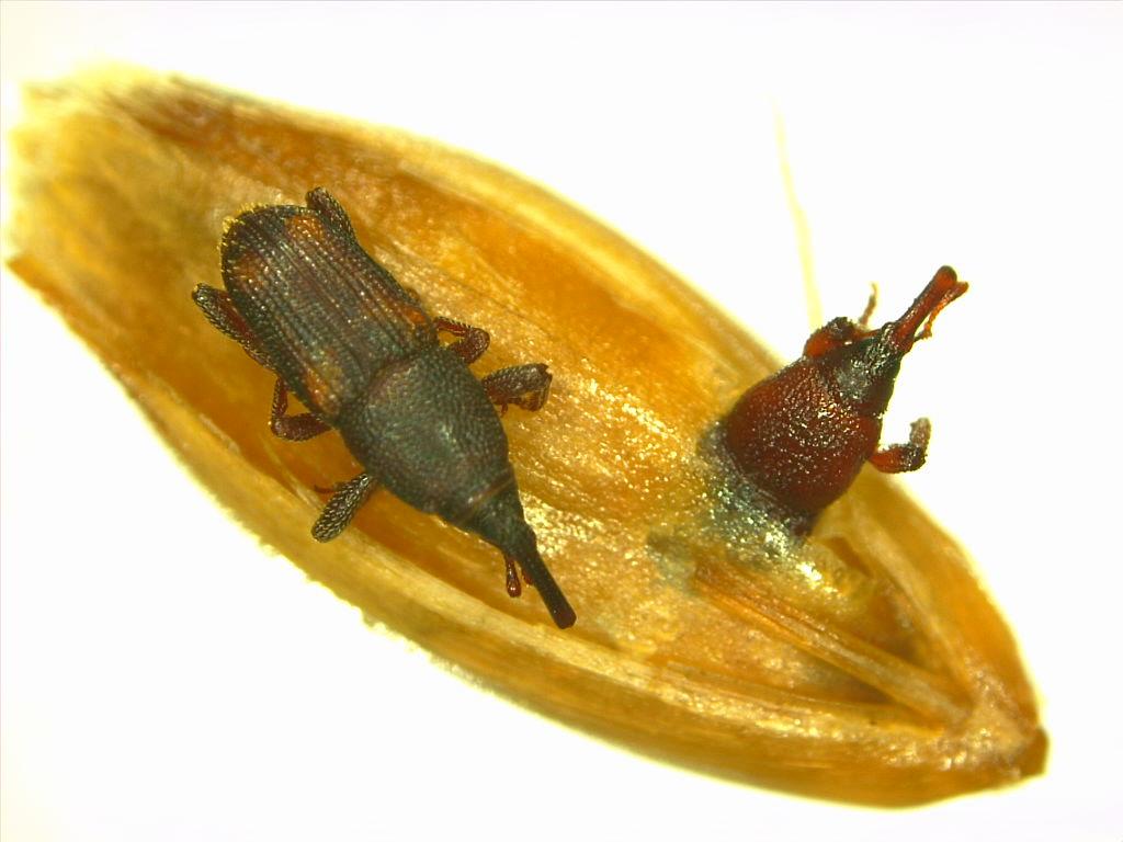 Sitophilus zeamais (Coleoptera: Curculionidae) em grãos de aveia exportação
