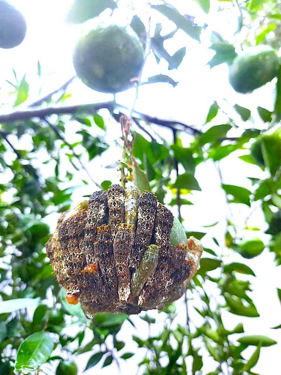 Lagarta-rosa-de-luto em bergamoteira, Teresópolis, Porto Alegre, RS / Ruby-spotted Swallowtail on tangerine