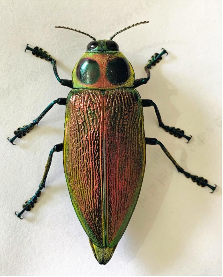 Euchroma gigantea en Yopal, Colombia / Gigant Metallic Ceiba Borer Beetle in Yopal, Colombia