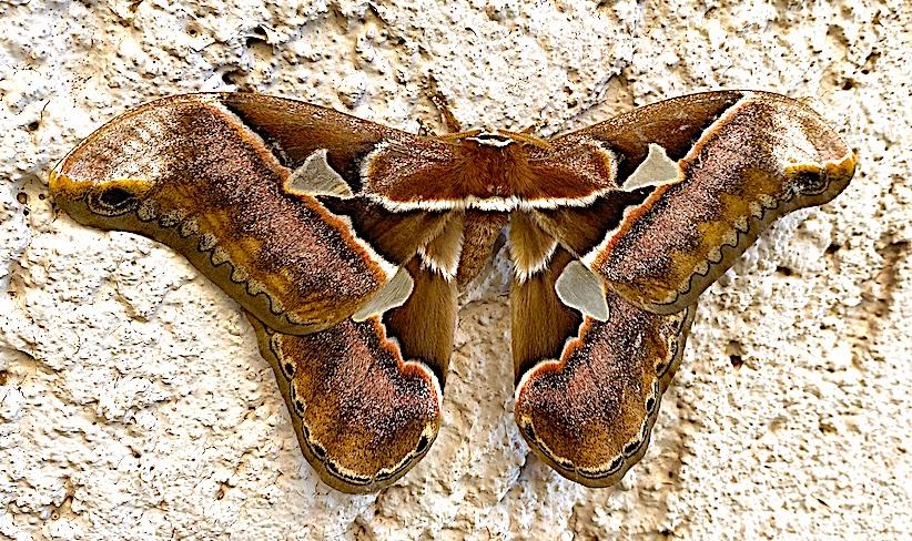 Rothschildia orizaba, the Orizaba silkmoth, Canela, RS