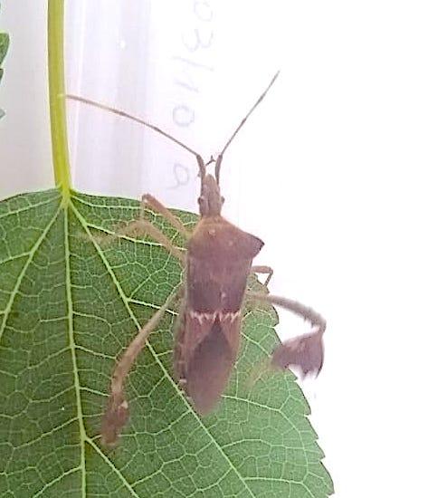 Percevejo-gaúcho em amoreira, Paulínia, SP