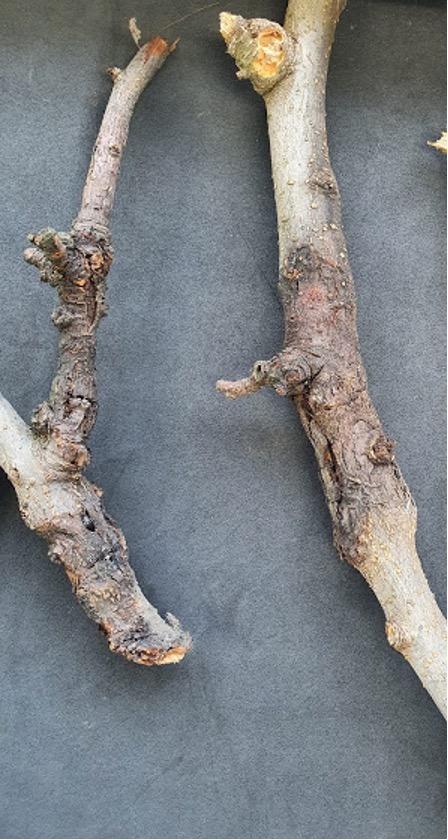 O QUE É, O QUE É? Cancro em ramos de macieira?